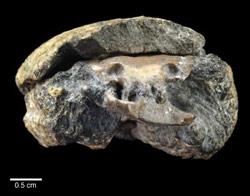 fossile1